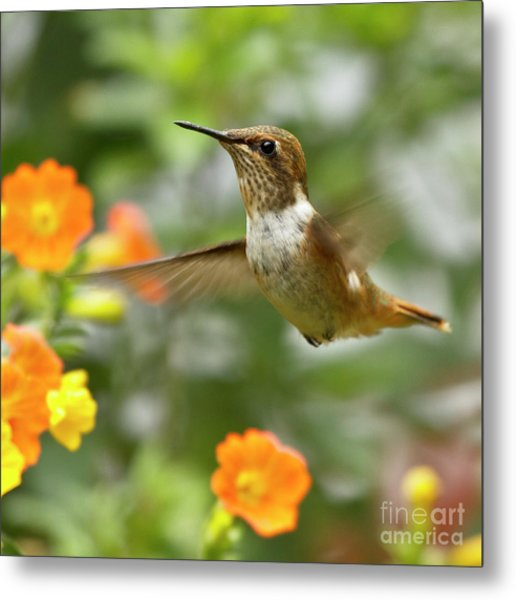 Flying Scintillant Hummingbird Metal Print