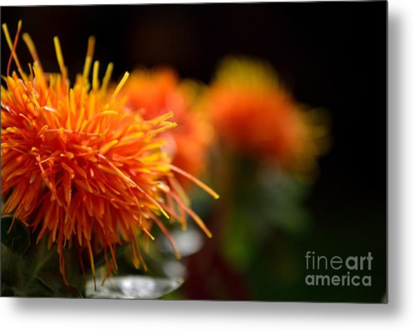 Focused Safflower Metal Print