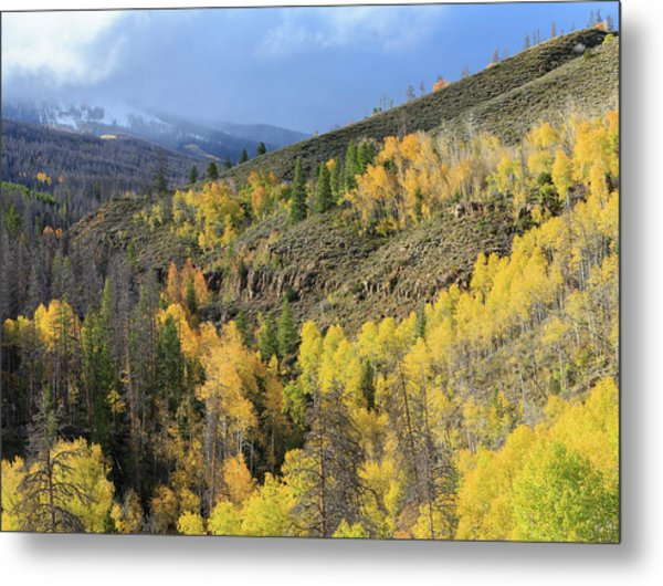 Forested Divided, Healthy Aspens, Dying Metal Print