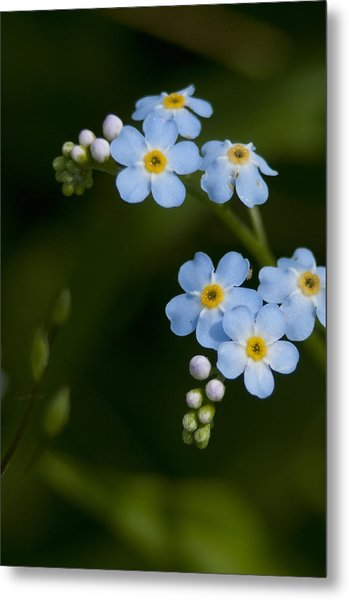 Forget-me-not Cascade Metal Print