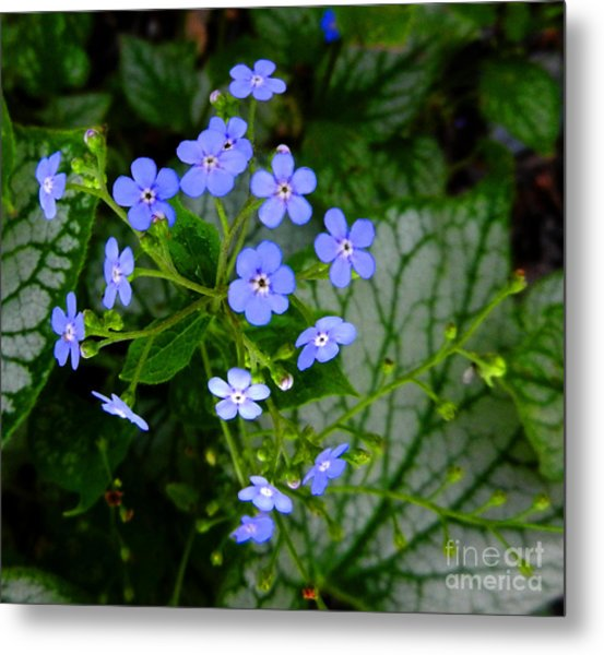 Forget-me-not Metal Print by Marcia Nichols