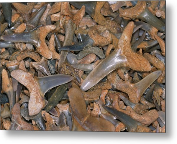 Fossil Shark Teeth Metal Print by Sinclair Stammers/science Photo Library