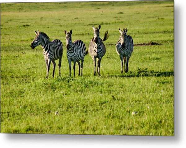 Four Zebras Metal Print