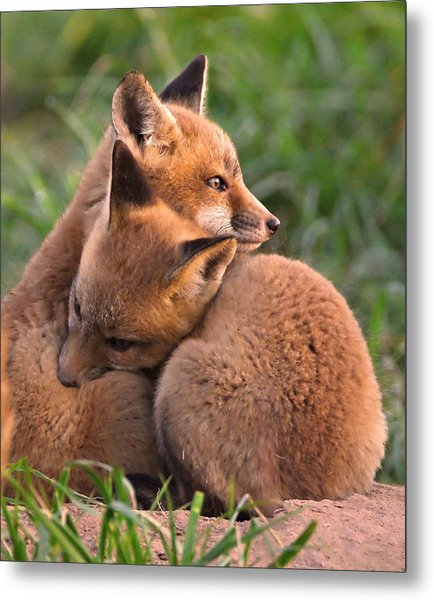Fox Cubs Cuddle Metal Print
