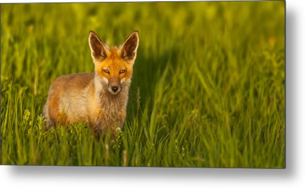 Fox In Grass  Metal Print