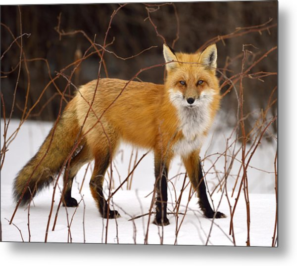Fox In Winter Metal Print