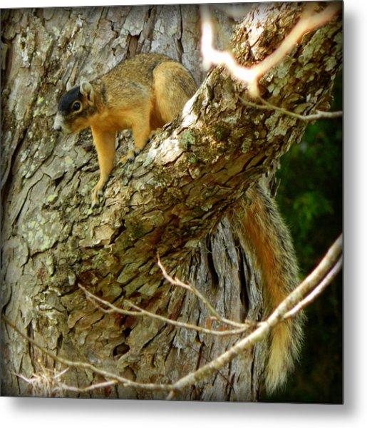 Fox Squirrel IIi Metal Print by Lynn Griffin