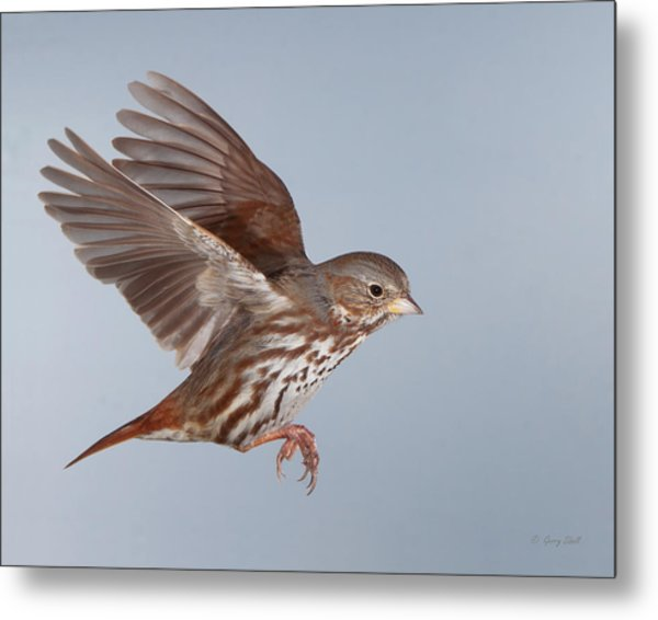 Foxy The Sparrow Metal Print by Gerry Sibell