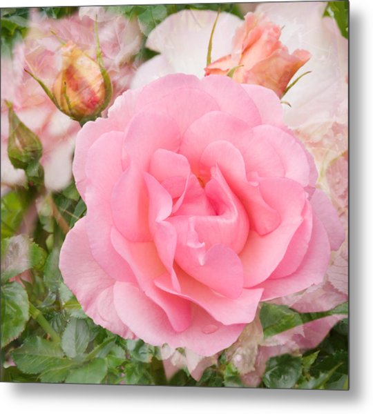 Fragrant Cloud Rose Metal Print