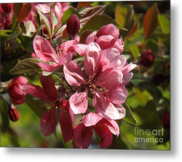 Fragrant Crab Apple Blossoms Metal Print