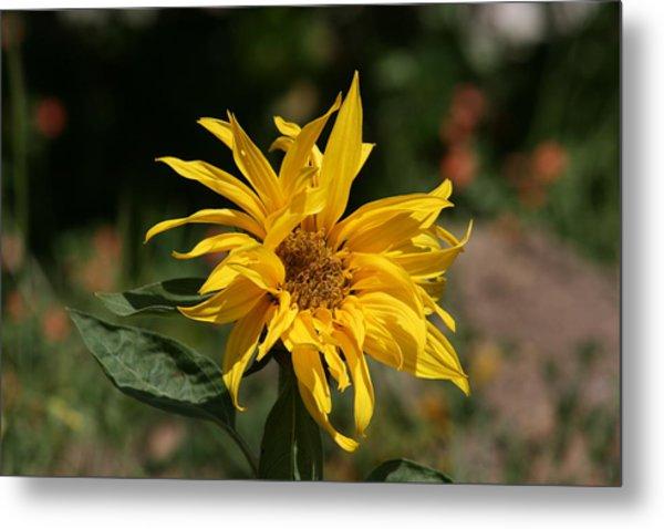 Frail Sunflower Metal Print