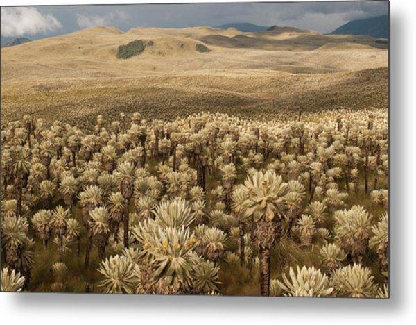 Frailejones', Espeletia Pycnophylla Metal Print by Pete Oxford