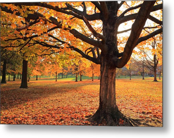 Francis Park Autumn Maple Metal Print