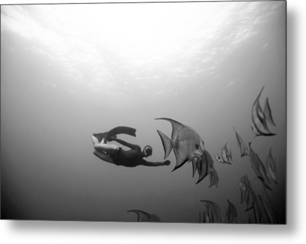 Freediver And Batfish Metal Print by One ocean One breath
