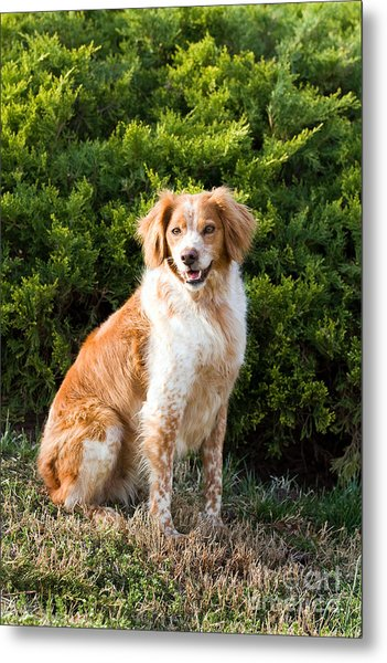 French Brittany Spaniel Metal Print