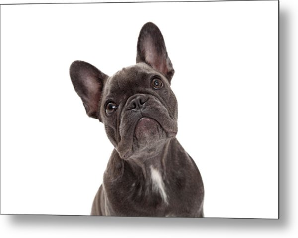 French Bulldog Closeup Metal Print