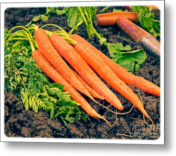 Fresh Carrots From The Garden Metal Print