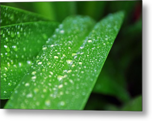 Fresh Rain Drops Metal Print