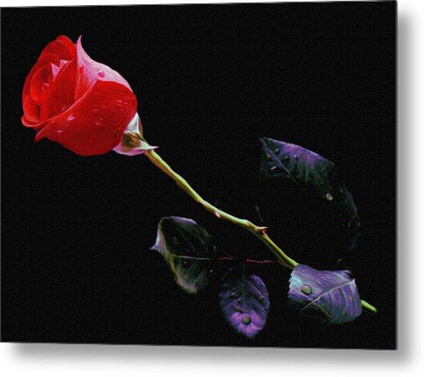 Freshly Watered Red Rose Metal Print