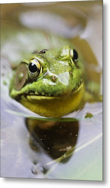Frog And Fly Metal Print by Brian Magnier