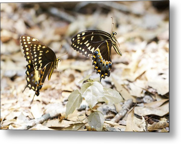 Frolicking Butterflies Metal Print