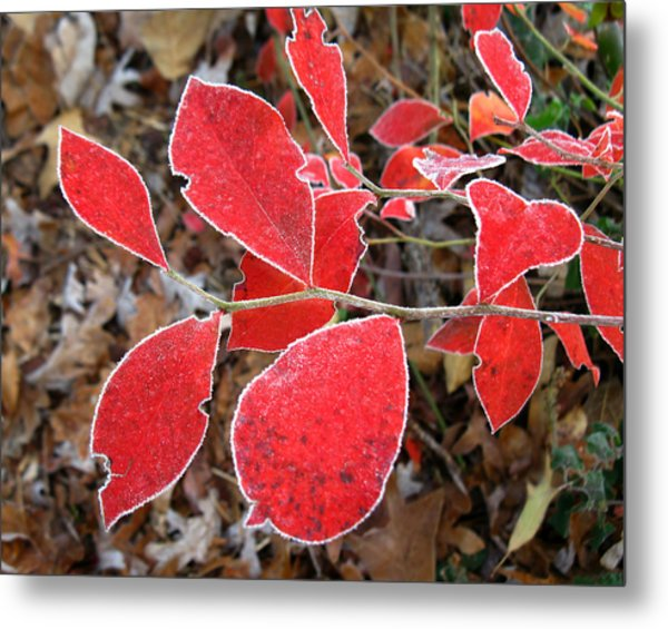 Frosted Blueberry Leaves Metal Print