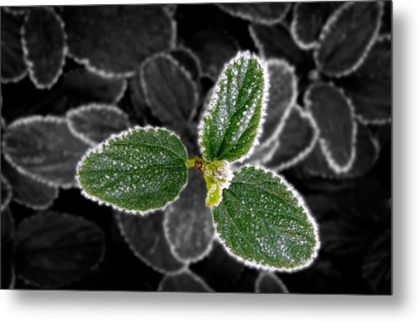 Frosty Leaves Metal Print