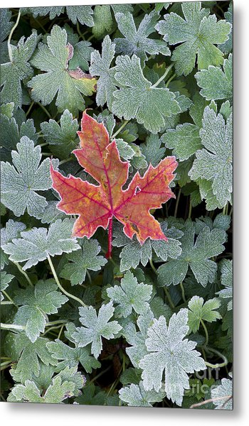 Frosty Maple Leaf Metal Print
