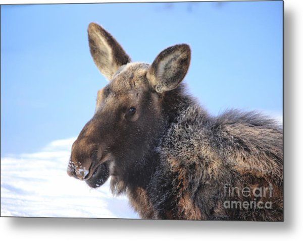 Frosty Moose Metal Print
