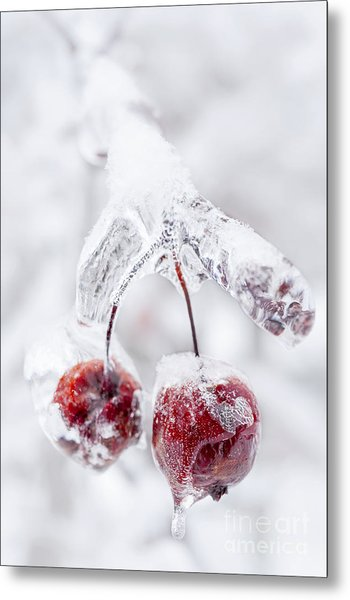 Frozen Crab Apples On Icy Branch Metal Print