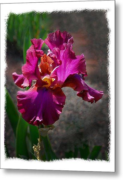 Fuchia Iris Metal Print by Wynn Davis-Shanks