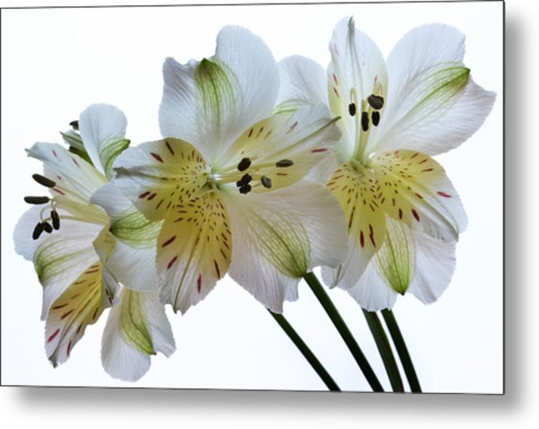 Full Bloom. Metal Print by Terence Davis