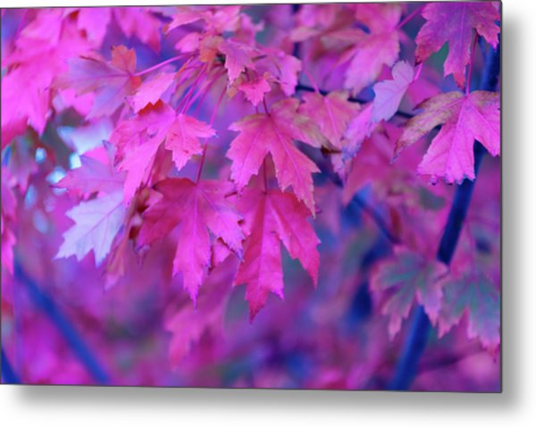 Full Frame Of Maple Leaves In Pink And Metal Print