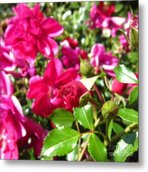 Fuschia Roses Metal Print