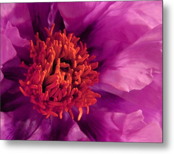 Fuschia Surprise Metal Print