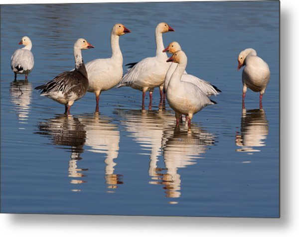 Gaggle Of Snow Geese Reflected Metal Print