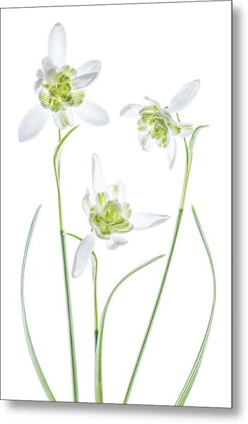 Galanthus Flore Pleno Metal Print by Mandy Disher