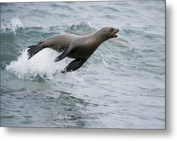 Galapagos Sea Lion Surfing  Mosquera Metal Print