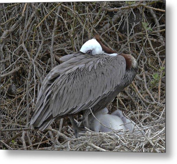 Galapagos - Watchful Pelican Metal Print