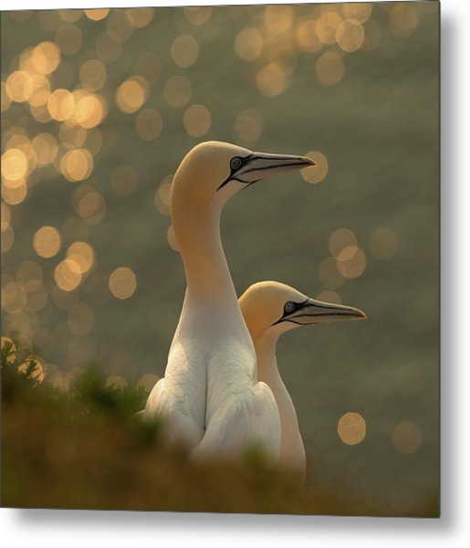 Gannets In Sunset Metal Print