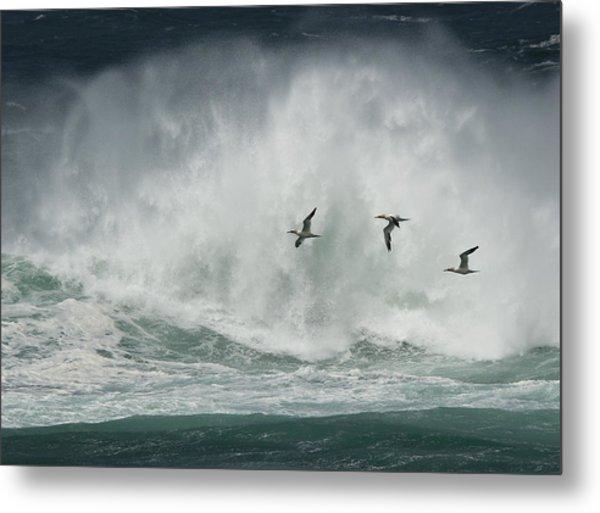 Gannets Past A Raging Sea. Metal Print