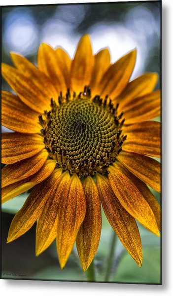 Garden Sunflower Metal Print