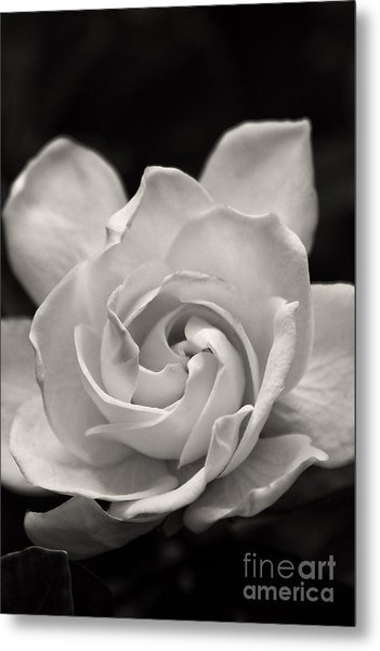 Gardenia Bloom In Sepia Metal Print