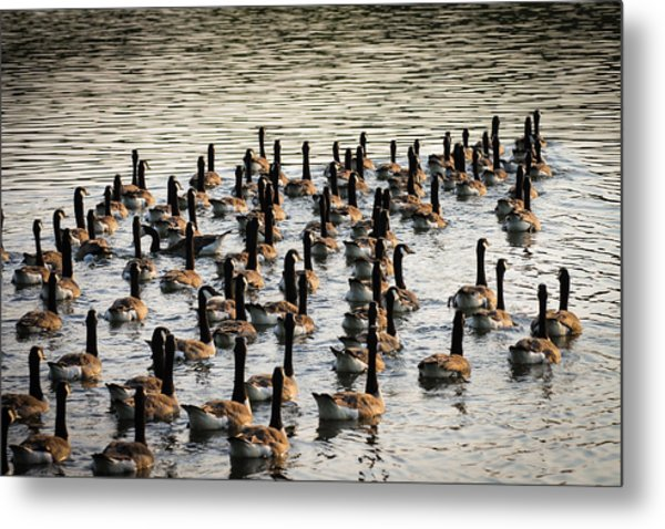 Geese In Sunset Light Metal Print