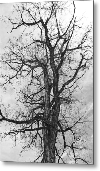 Genoa Tree Metal Print