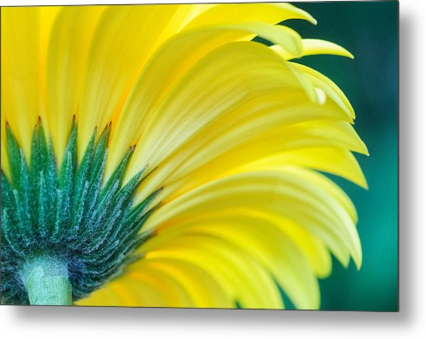 Metal Print featuring the photograph Gerber Daisy by Garvin Hunter