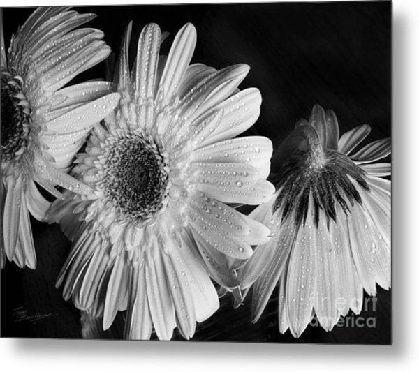 Gerbera Daisies Black And White Metal Print by Tom Brickhouse