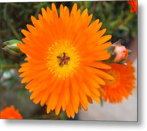 Gerbera Flower Metal Print