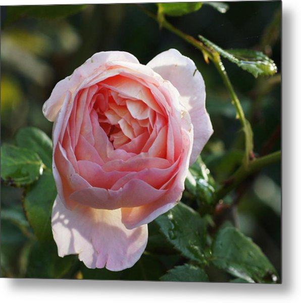 Gertrude Jeykell Old World Rose Metal Print by Rosemarie E Seppala