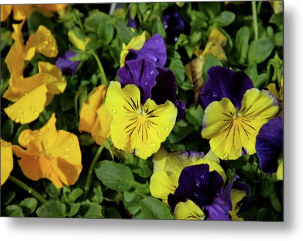 Giant Garden Pansies Metal Print